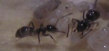 Слева - очень толстый муравей :)