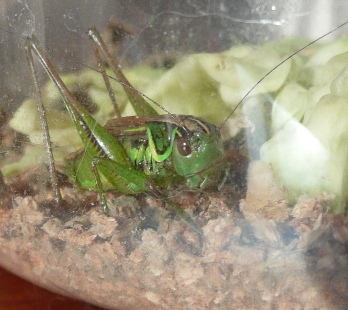 Чем питается саранча в домашних условиях фото
