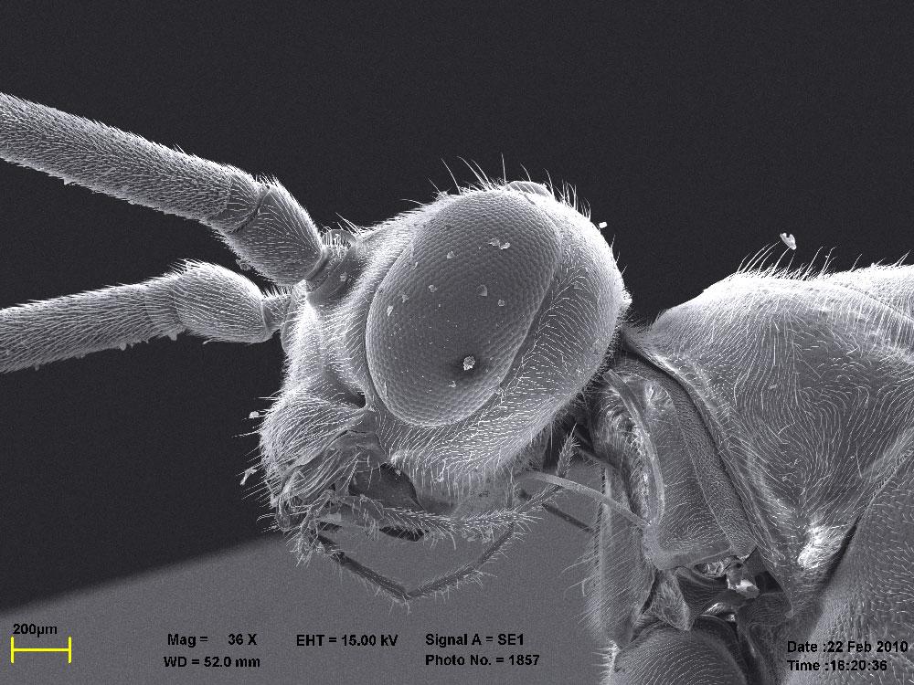 голова самца Diacamma rugosum