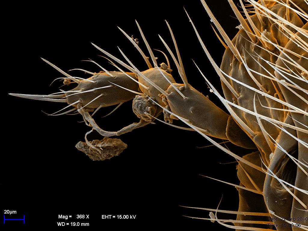 нижнечелюстной щупик самца Diacamma rugosum, комбинация двух изображений, цвет - для наглядности