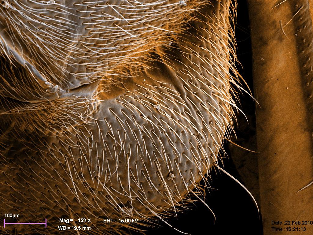 «отсек» с летательными мышцами на спине самца Diacamma rugosum, комбинация двух изображений, цвет - для наглядности