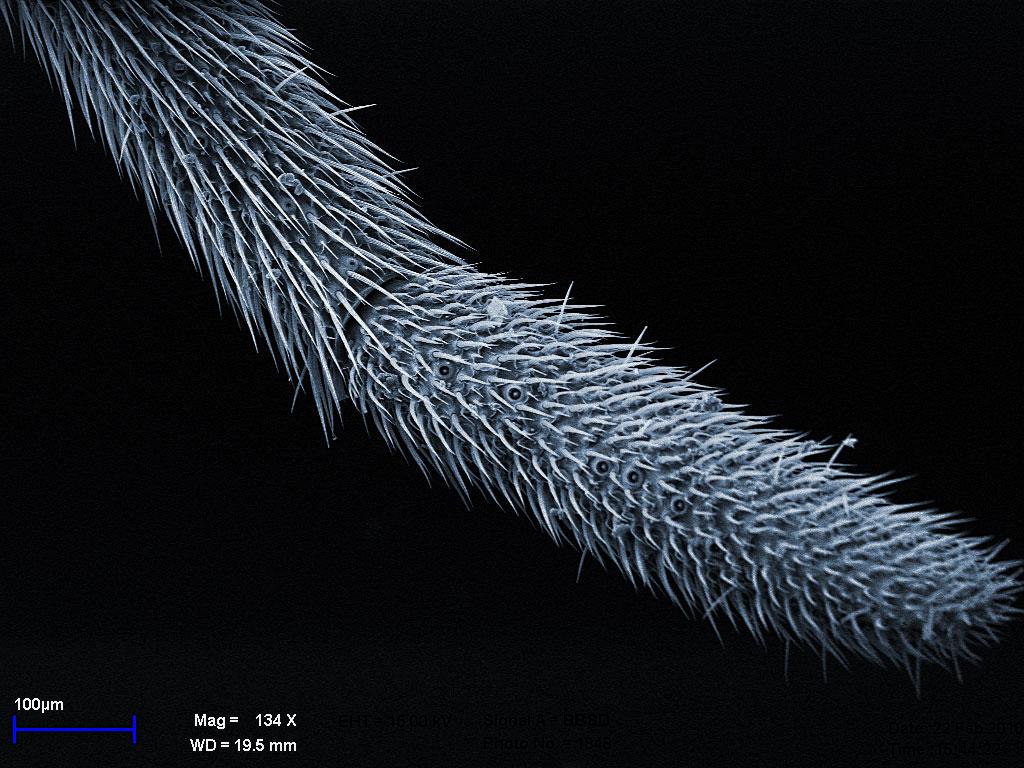 булава усика самца Diacamma rugosum, комбинация двух изображений, цвет - для наглядности
