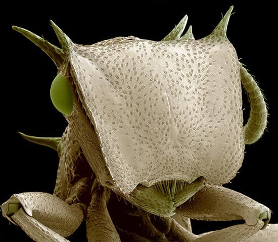 Голова муравья-солдата (Cephalotes), обитающего в тропических лесах Амазонки