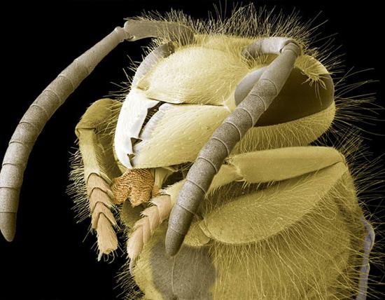 Голова осы обыкновенной (Vespula vulgaris)