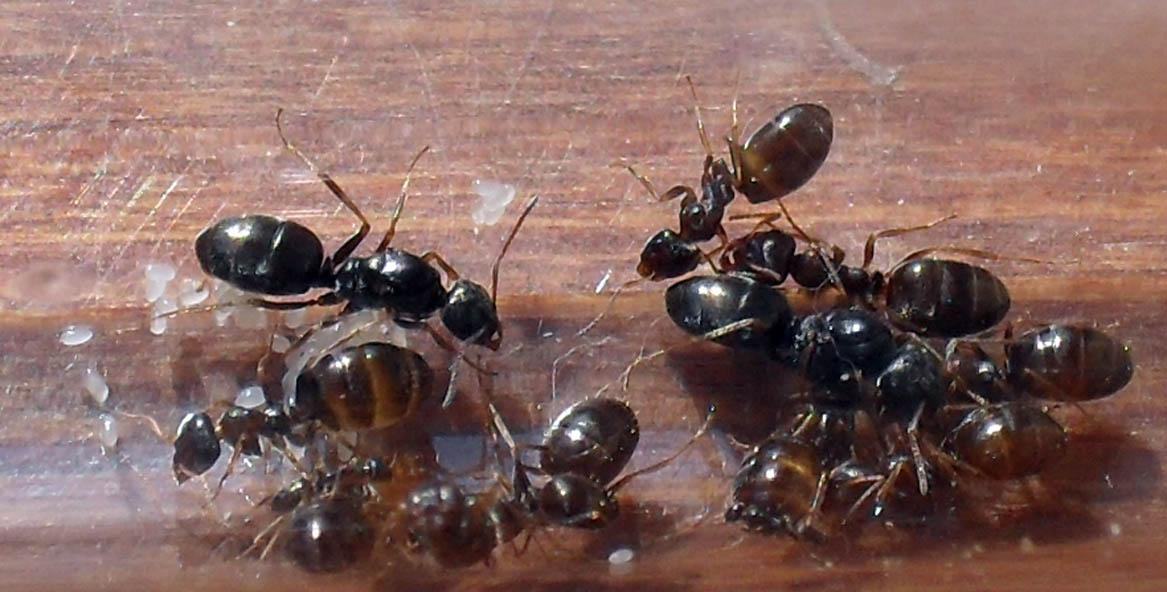 Общий вид маток и рабочих, хорошо видны две чёрные матки, предположительно бегунков.