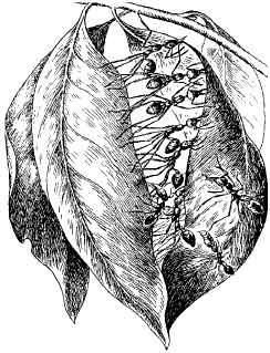 Рис. 16. Муравьи-портные (Oecophylla smaragdina) за работой (по Длусскому, 1969).