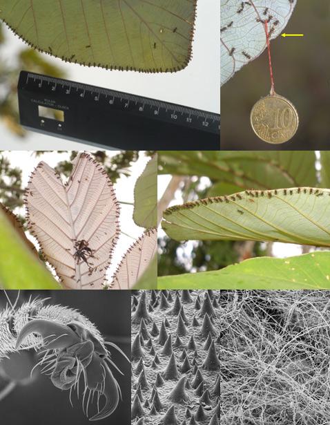 На фото слева вверху: шеренга мурашей в засаде. Учёные поднесли к листу линейку, чтобы измерить расстояние между особями. Справа вверху: чтобы измерить силу муравьёв, биологи приклеили к десятицентовой монетке (4,11 грамма) нитку, четыре муравья держат её без особых проблем. Внизу: кончик лапы насекомого при большом увеличении, а также верхняя и нижняя поверхности листа C. obtusa (фото PLoS ONE).