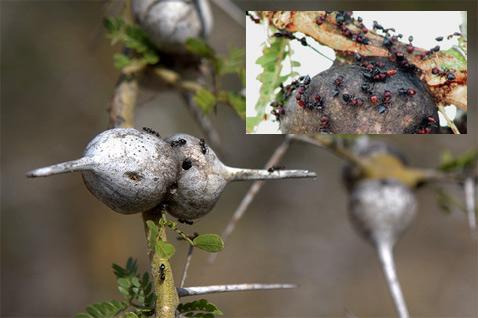 Исследования проходили на территории заповедника Lewa Wildlife Conservancy с 2003 по 2008 год. Популяция защищённых мурашами акаций оставалась неизменной, количество остальных растений значительно уменьшилось. Американцы считают, что спасая зелень акаций от слонов, муравьи фактически защищают от пожирателей всю экосистему саванны (фото с сайта bbc.co.uk, russellauthur/Flickr.com).