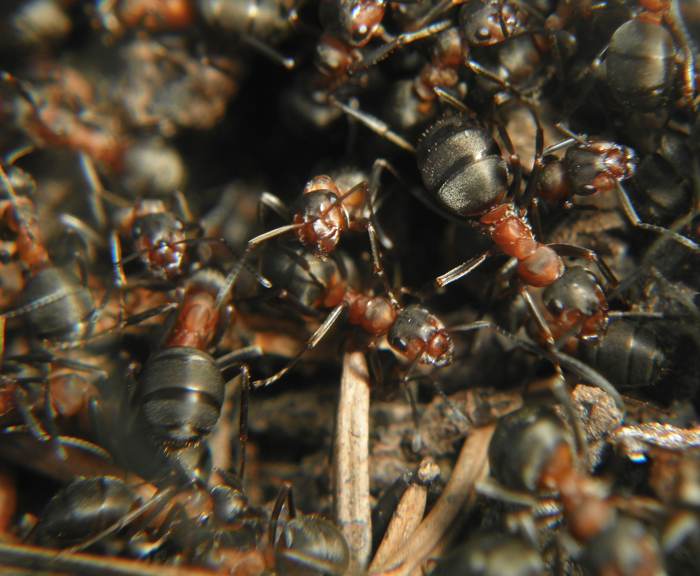 Вот первые встреченные муры, скорее всего Formica polyctena, ибо спина голая