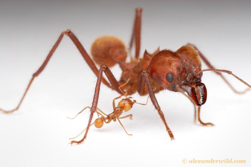 Worker Ant Vs Soldier Ant Prenolepis imparis