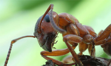 Его также часто называют рыжим домовым муравьем.