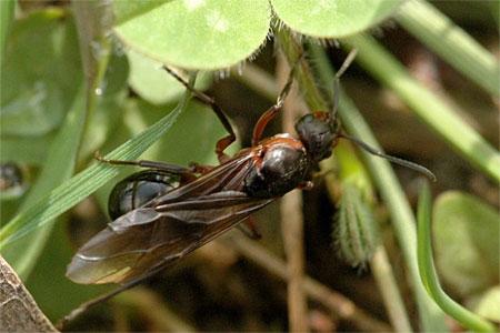 рыжий лесной муравей.