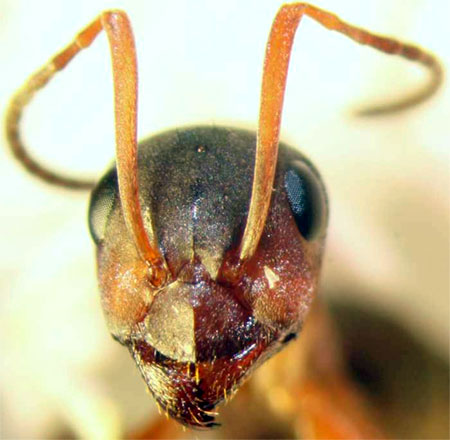краснощекий муравей-минер