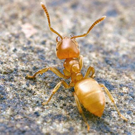 желтый садовый муравей  © Alex Wild, http://www.myrmecos.net/, 2004