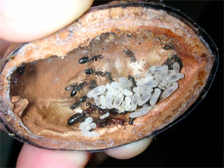 гнездо в грецком орехе
