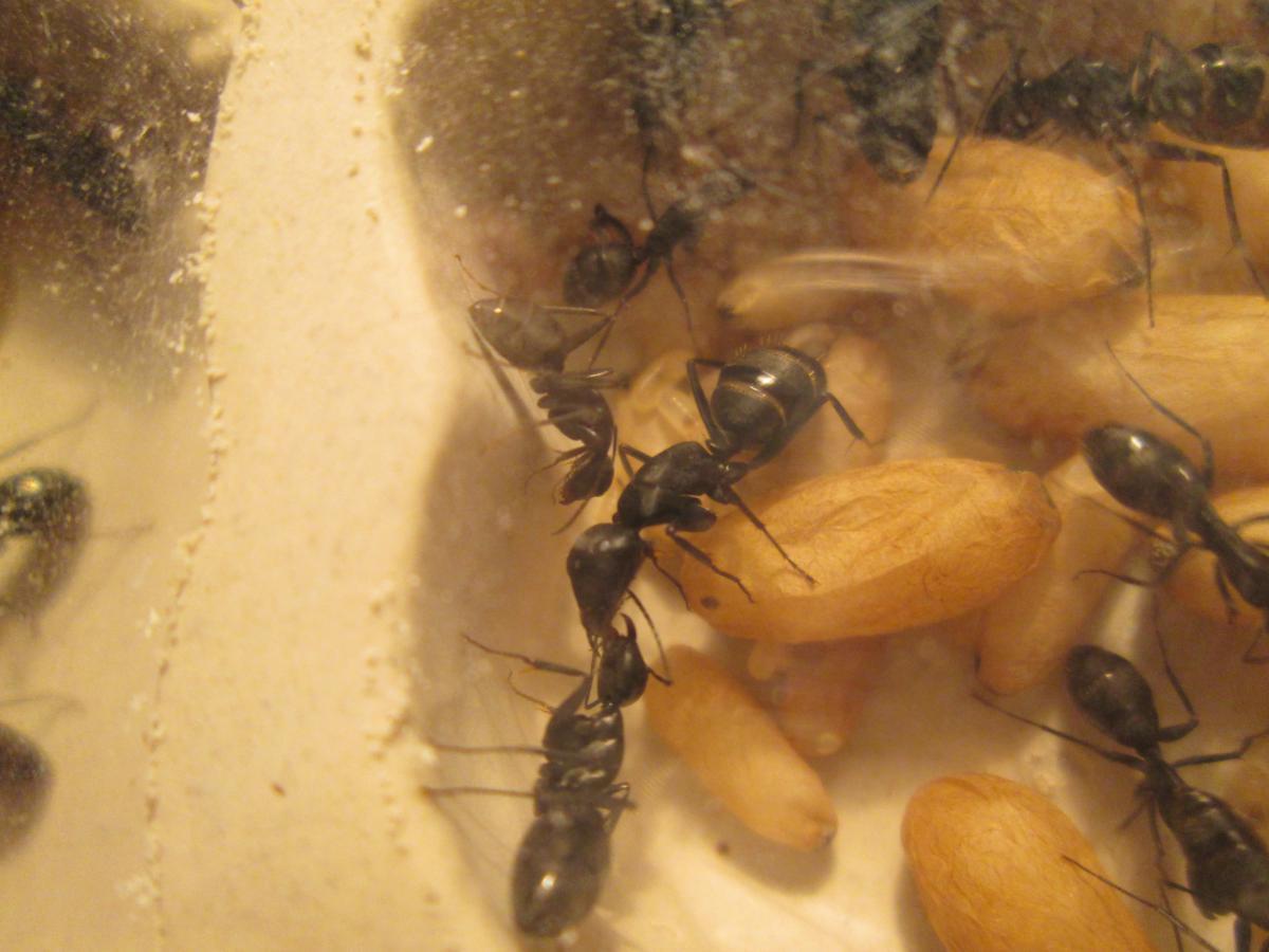 Новорожденный минорчик, совсем крохотунечка (в центре снимка, над трафилаксирующими солдатами). Только что вышедших из коконов муравьёв, почти не отличить от остальных членов семьи.