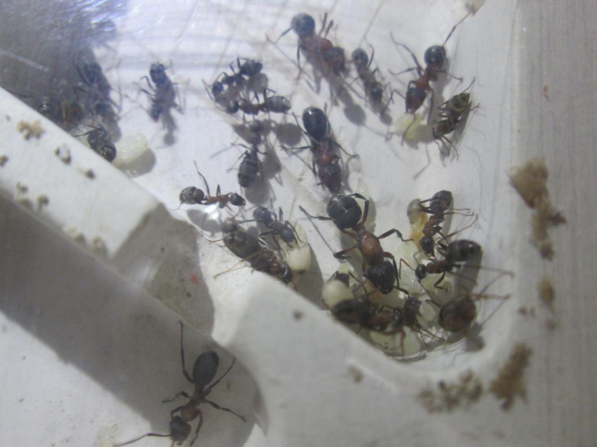 Самка в окружении личинок и муравьёв - рабов.