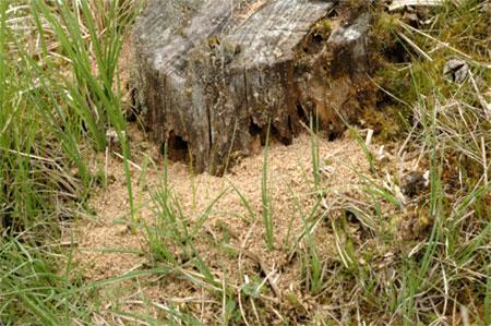 гнездо в старом пне