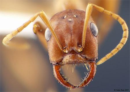 муравей-рабовладелец