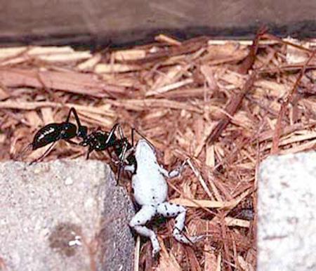 Автор вида: Emery, 1901 Другие названия: муравей-динозавр Особенности...