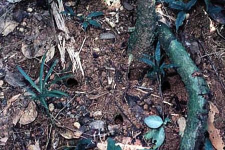длинноногий муравей-динозавр.