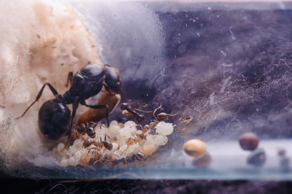 Первый обед. Самка жадно поедает кусочек мучного хрущака.