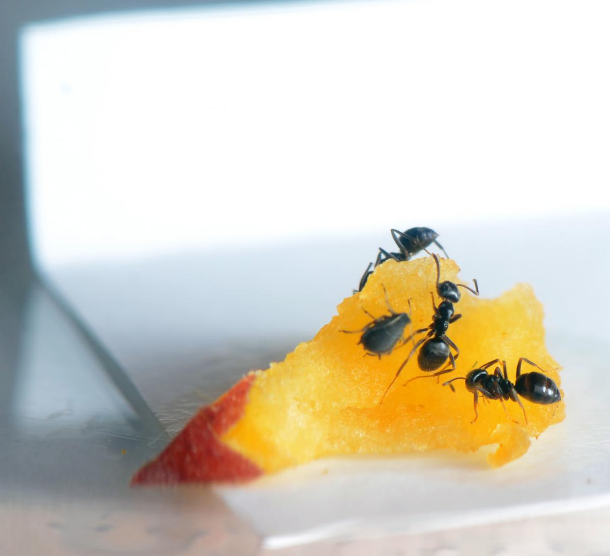 А вот и удивительная картина: муравьи и тля пасутся на персике.