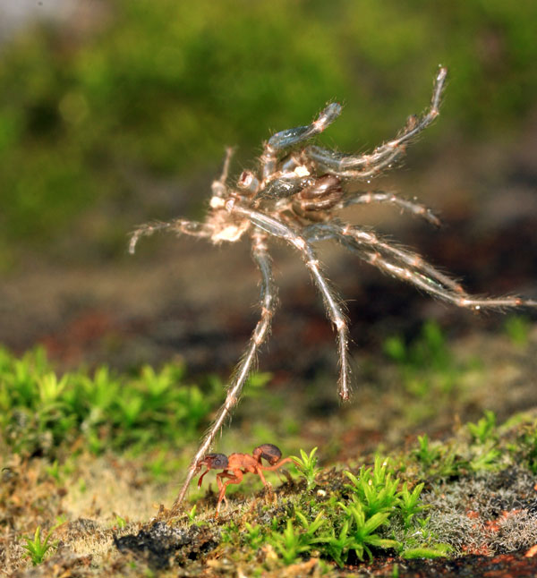 мертвый паук - хорошее удобрение для грибного сада