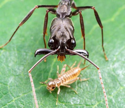 Здесь Odontomach ... Сверхскоростные челюсти швыряют муравья далёким кувырком antclub.ru муравьи