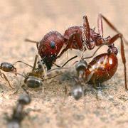 На этом снимке показана атака аргентинских муравьёв на представителя другой разновидности. Оказалось, что химия может заставить насекомых точно так же нападать на членов своей «семьи» (фото Alex Wild/LiveScience).