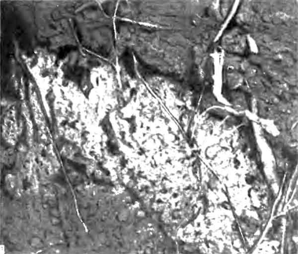 Фото 101. Грибной сад, выращиваемый в земляном гнезде муравья-листореза Acromyrmex octospinosus. «Сад» представляет собой губчатую массу, на которую сверху добавляется новый субстрат, а муравьи объедают снизу нарастающие плодовые тела гриба. [фото D. I. Stradling.]