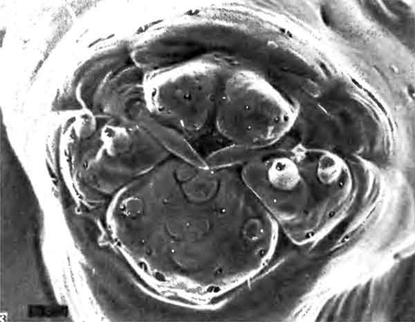 Фото 103. Ротовые части личинки Myrmica последнего возраста (х 70). Видны (начиная сверху по часовой стрелке): верхняя губа, заостренные мандибулы, максиллярные щупики и нижняя губа. Ротовое отверстие расположено между верхней губой и мандибулами, а протоки слюнных желез открываются на нижней губе. [фото  С.Hawkins, Univ. of Southampton.]