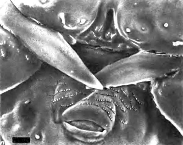 Фото 104. Ротовые части личинки Myrmica последнего возраста (х 1750). Можно видеть обломанный кончик одной мандибулы и ряды эпикутикулярных «зубов», вероятно помогающих удерживать и заглатывать пищу. [фото  С.Hawkins, Univ. of Southampton.]
