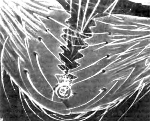 Фото 105. Мандибулы рабочей особи Myrmica. Это молодая особь с острыми кутикулярными зубцами, вцепившимися в частицу пищи ( х 70). [фото С. Hawkins, Univ. of Southampton.]