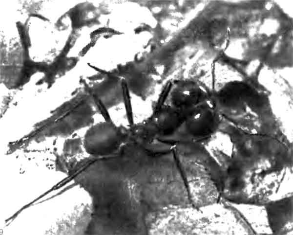Фото 109. Солдат Atta cephalotes (Attini) в Тринидаде. Эти солдаты защищают гнездо, а не своих собратьев, занятых фуражировкой. Они выходят на поверхность при сотрясении почвы и могут больно укусить, но листья они не разрезают. [фото D.J. Stradling.]