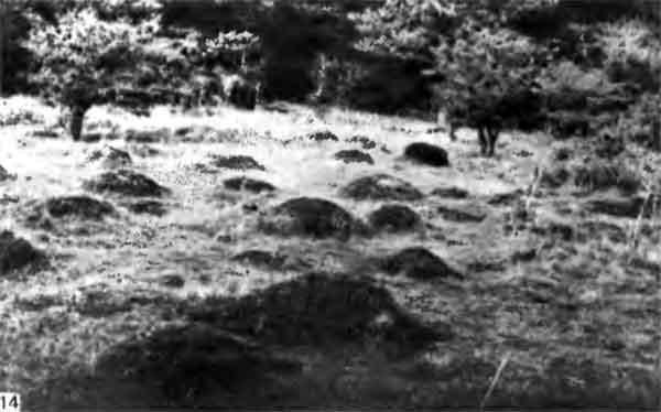 Фото 114. Земляные холмики Lasius flavus в Дорсете (Англия) образуют с поверхностью почвы тупой угол из-за слабого сцепления между частичками почвы и обусловленного этим эрозионного скольжения. Верхушки холмиков часто бывают покрыты вереском.