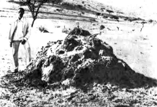 Фото 116. Гнездо в виде холмика, построенное Macrotermes subhyalinus в африканской саванне. Видны большие вентиляционные отверстия (а) и более мелкие отверстия, через которые недавно вылетели половые особи (б). [фото J.P.E.C Darlington.]