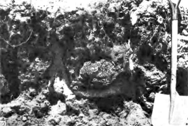 Фото 119. Грибной сад Odontotermes monoaon; вентиляционные ходы окрашены в белый цвет. [фото J.P.E.C Darlington.]
