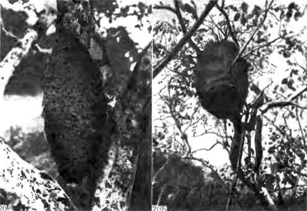 Фото 120. Картонные гнезда муравья Azteca chartifex (Dolichoderinae) (А) и термита Nasutitermes sp. на лимонном дереве (Б) в Тринидаде. У обоих видов основой для гнезда служат древесные волокна, но в качестве цементирующего вещества муравьи применяют секрет слюнных желез, а термиты — экскременты. [D.J. Stradling.]