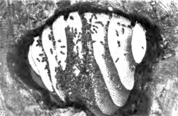 Фото 122. Гнездо медоносной пчелы в естественной полости в стволе дерева. Видны девять сотов неправильной формы, на нижнем краю которых находятся трутневые ячейки. [фото J.В. Free.]