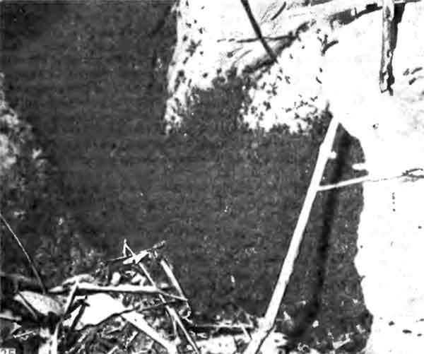 Фото 125. Семья Eciton burchelli, отдыхающая днем под камнем. Муравьи образуют «бивуак», подвесившись к нижней поверхности камня и друг к другу с помощью коготков, имеющихся на их лапках, и могут поддерживать внутри скопления температуру на несколько градусов выше температуры окружающей среды. [фото D.I. Stradling]