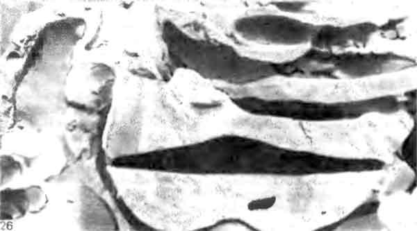 Фото 126. Вертикальный разрез через камеры Macrotermes subhyalinus. Видны горизонтальный пол и сводчатый потолок. [J.Р.Е.С. Darlington.]