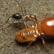 Изученный вид муравьёв охотится на термитов. А ведь жертву надо не только выследить, но и потом дотащить обратно до гнезда (фото с сайта dailymail.co.uk).