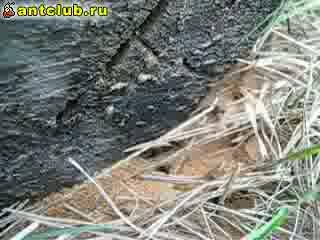 Нижний вход в гнездо Camponotus vagus