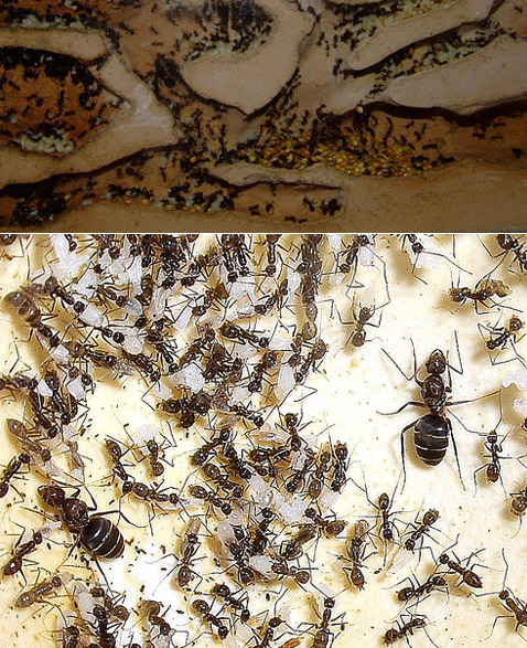 """Считается, что модель сверхорганизма с её жёсткой иерархией оказалась в целом наиболее эффективной – её придерживается большинство видов муравьёв. Но Rhytidoponera impressa иногда практикуют воспитание потомства """"рабочими матерями"""". Видимо, они решают проблему согласования действий каким-то иным образом (фото с сайта anthillwood.co.uk, puppies8691)."""