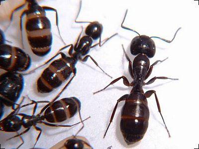 Черные муравьи, совещаются, планируют