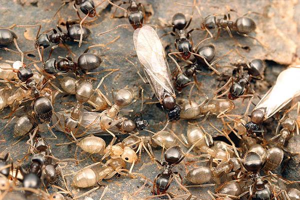 рабочие и самцы /myrmecos.net © Alex Wild 2003/