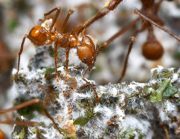 """белый """"пух"""" это и есть гриб /myrmecos.net © Alex Wild 2003/"""